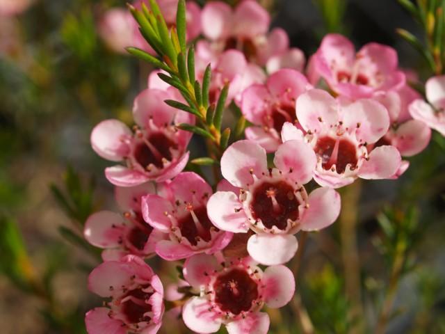 Australian Native Nursery, Grevillea, chamelaucium ...